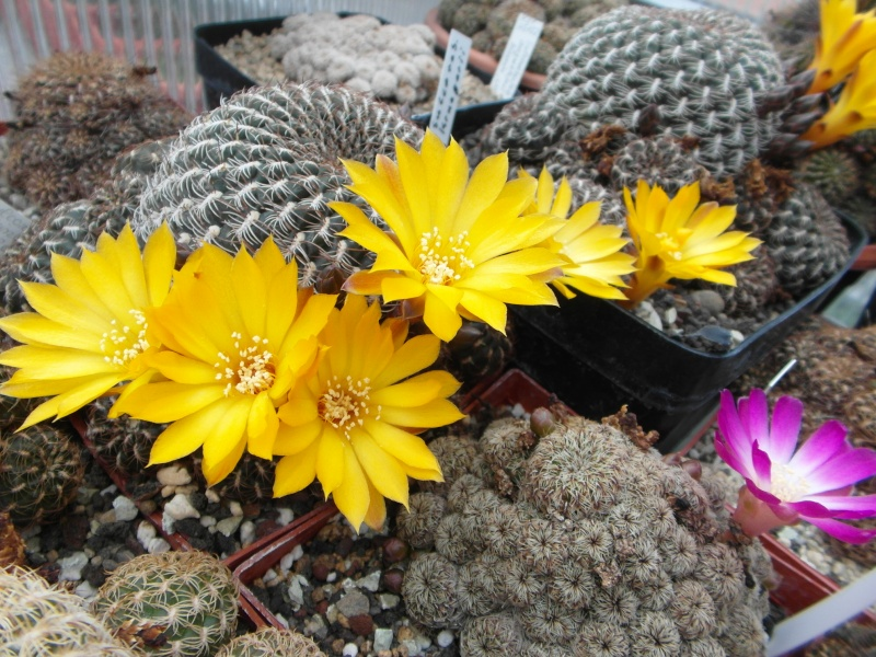 Cacti and Sukkulent in Köln, every day new flowers in the greenhouse Part 50 Bild_956