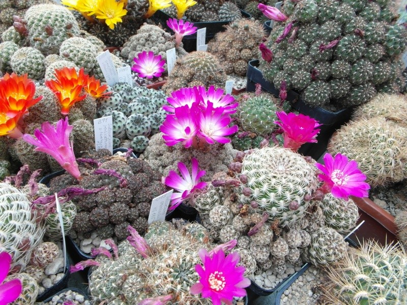 Cacti and Sukkulent in Köln, every day new flowers in the greenhouse Part 50 Bild_957