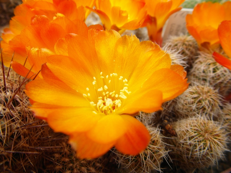 Cacti and Sukkulent in Köln, every day new flowers in the greenhouse Part 50 Bild_958