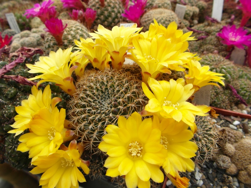 Cacti and Sukkulent in Köln, every day new flowers in the greenhouse Part 50 Bild_959