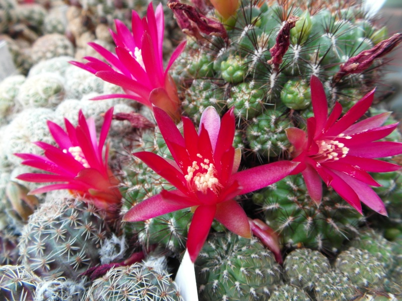 Cacti and Sukkulent in Köln, every day new flowers in the greenhouse Part 50 Bild_960
