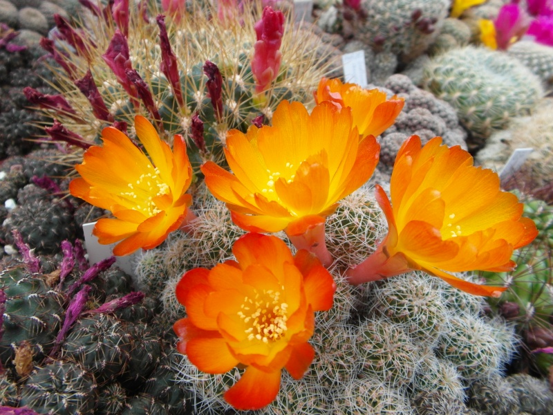 Cacti and Sukkulent in Köln, every day new flowers in the greenhouse Part 50 Bild_961