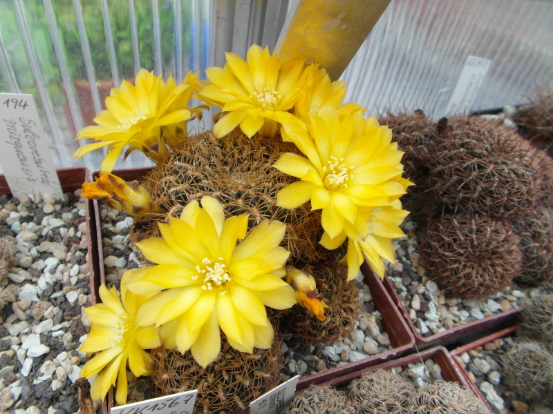 Cacti and Sukkulent in Köln, every day new flowers in the greenhouse Part 50 Bild_962