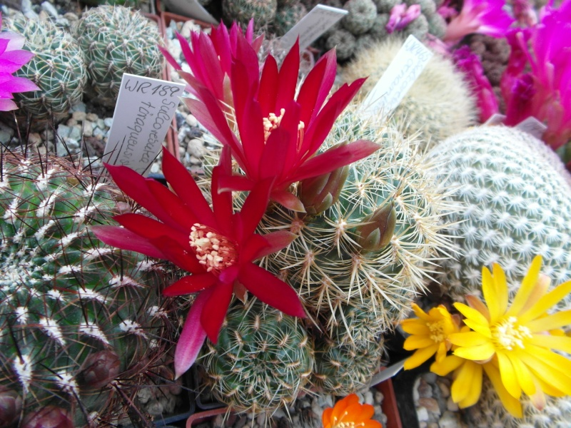 Cacti and Sukkulent in Köln, every day new flowers in the greenhouse Part 50 Bild_964