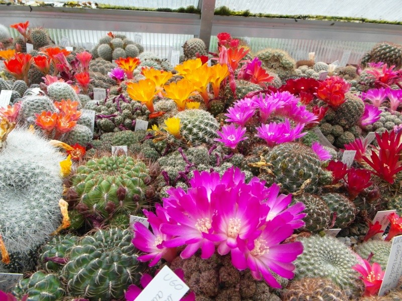 Cacti and Sukkulent in Köln, every day new flowers in the greenhouse Part 50 Bild_965