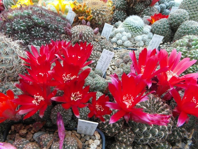 Cacti and Sukkulent in Köln, every day new flowers in the greenhouse Part 50 Bild_966