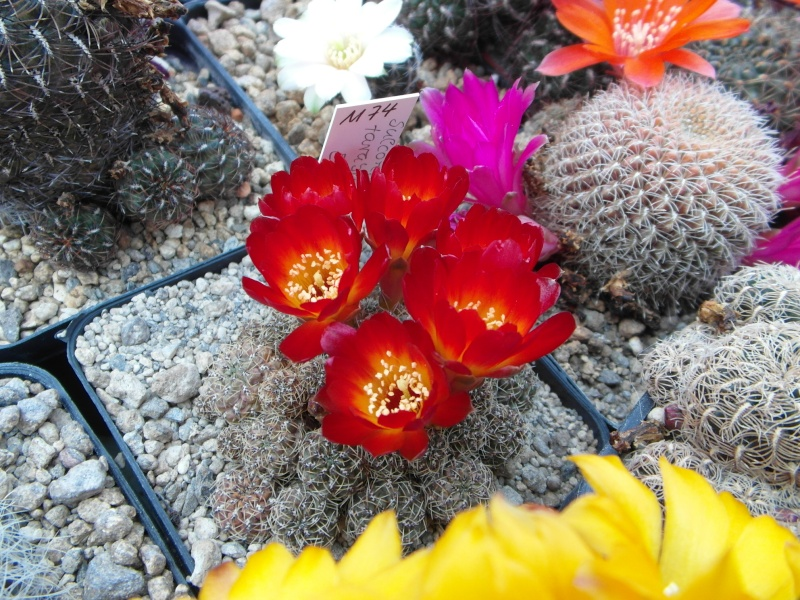 Cacti and Sukkulent in Köln, every day new flowers in the greenhouse Part 50 Bild_967