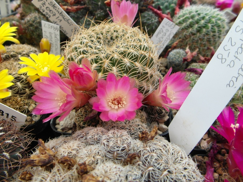 Cacti and Sukkulent in Köln, every day new flowers in the greenhouse Part 50 Bild_968
