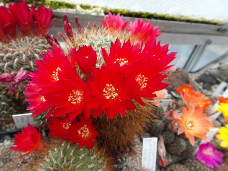Cacti and Sukkulent in Köln, every day new flowers in the greenhouse Part 50 Bild_969