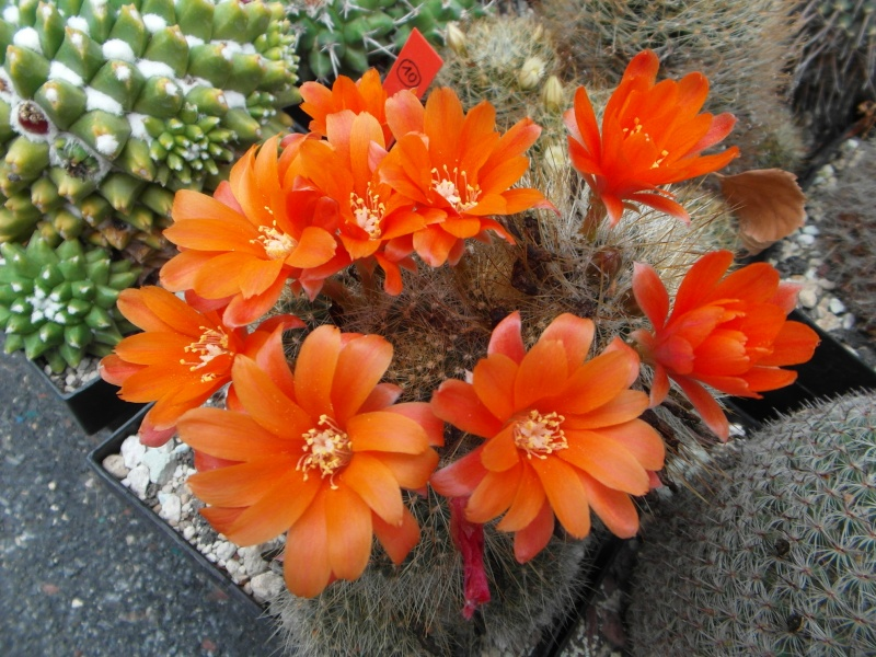 Cacti and Sukkulent in Köln, every day new flowers in the greenhouse Part 50 Bild_972