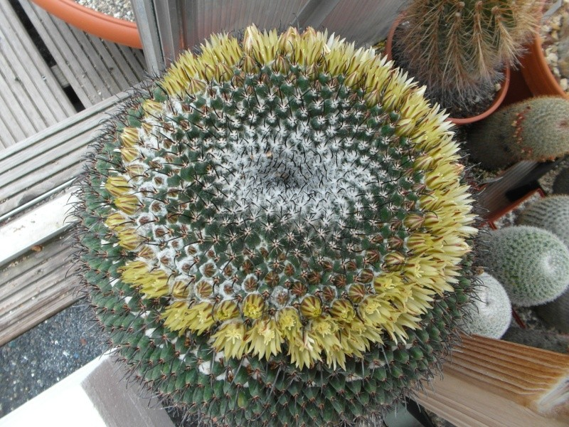Cacti and Sukkulent in Köln, every day new flowers in the greenhouse Part 50 Bild_975