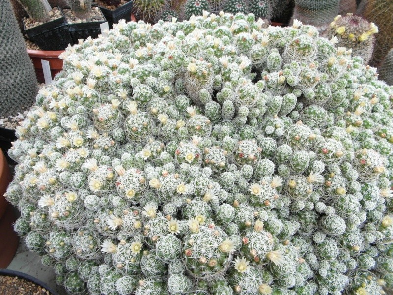 Cacti and Sukkulent in Köln, every day new flowers in the greenhouse Part 50 Bild_987