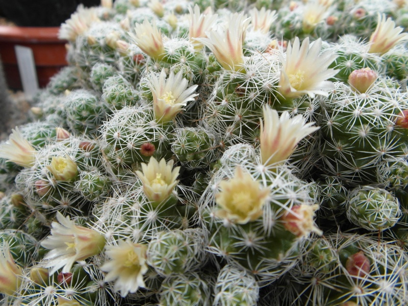 Cacti and Sukkulent in Köln, every day new flowers in the greenhouse Part 50 Bild_988