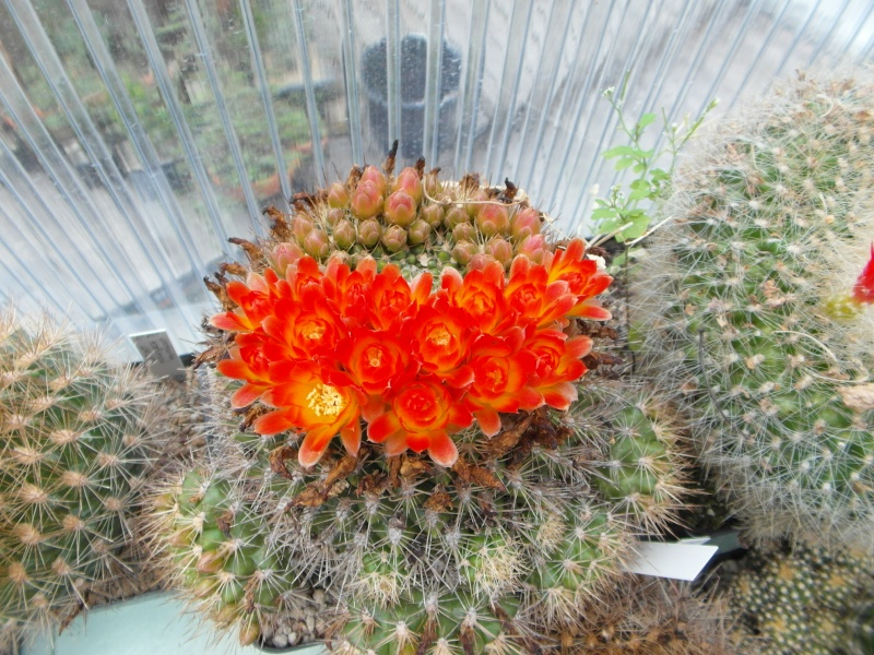 Cacti and Sukkulent in Köln, every day new flowers in the greenhouse Part 50 Bild_990