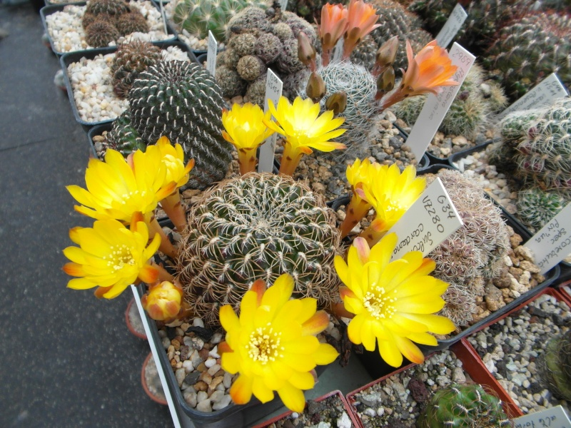 Cacti and Sukkulent in Köln, every day new flowers in the greenhouse Part 50 Bild_991