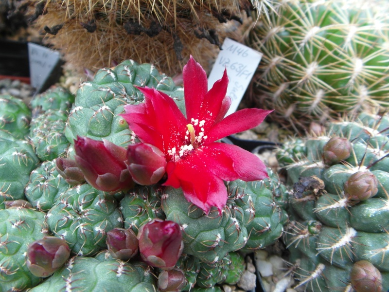 Cacti and Sukkulent in Köln, every day new flowers in the greenhouse Part 50 Bild_992