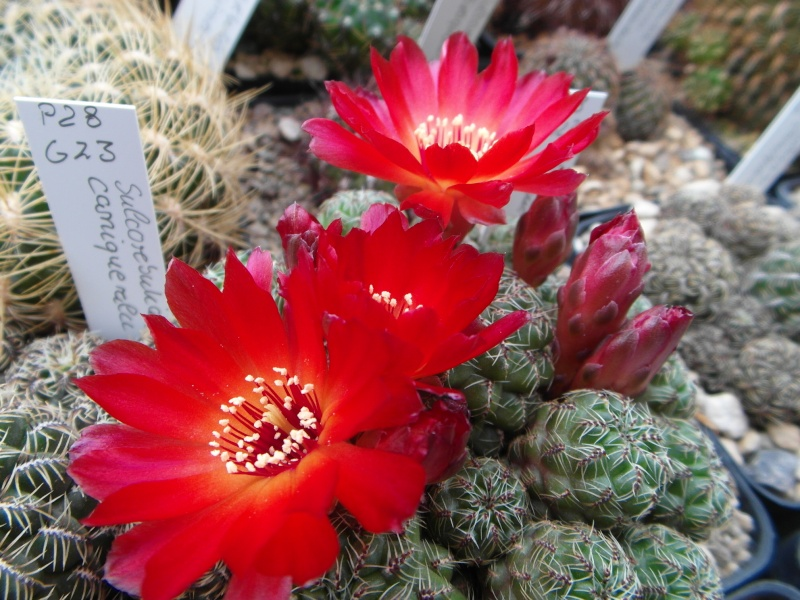 Cacti and Sukkulent in Köln, every day new flowers in the greenhouse Part 50 Bild_993