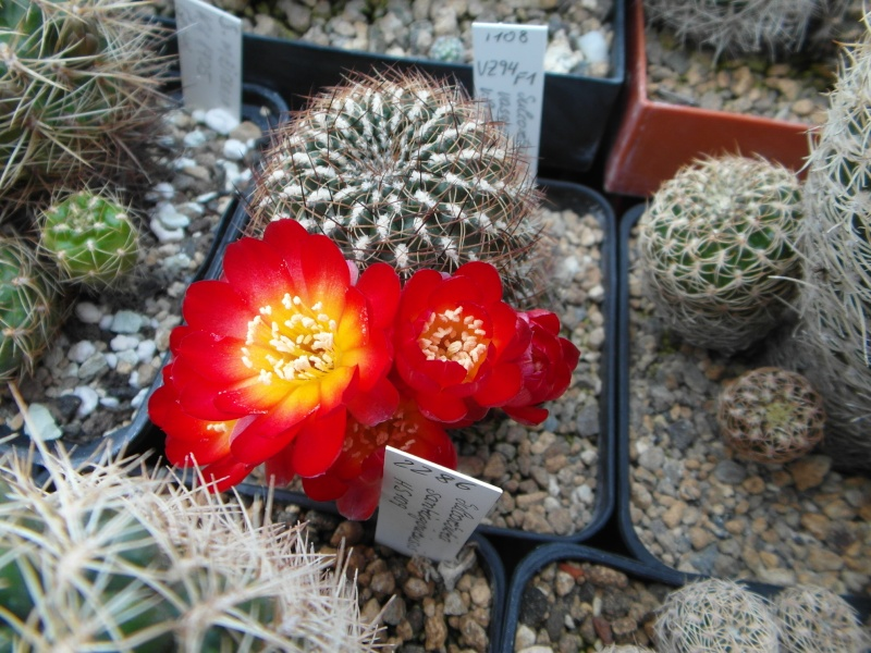 Cacti and Sukkulent in Köln, every day new flowers in the greenhouse Part 50 Bild_996