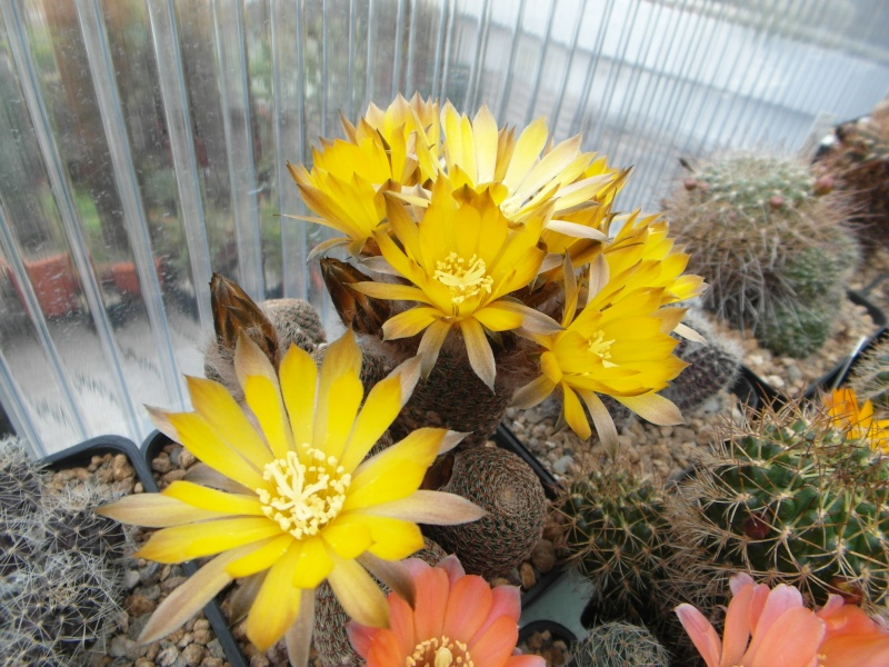 Cacti and Sukkulent in Köln, every day new flowers in the greenhouse Part 50 Bild_997