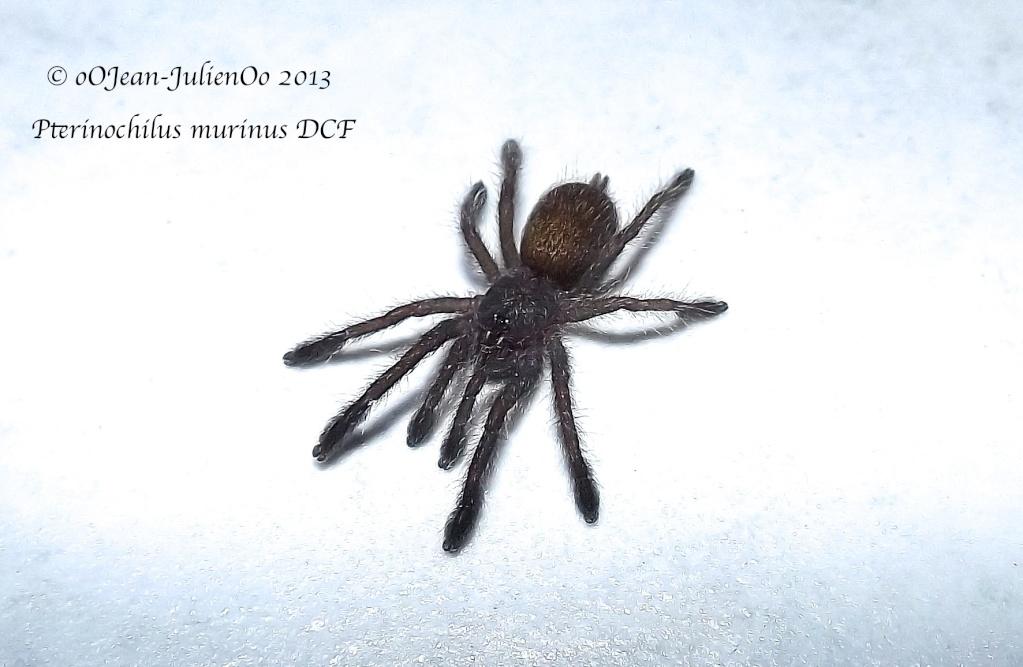 Pterinochylus murinus DCF Dscf0313