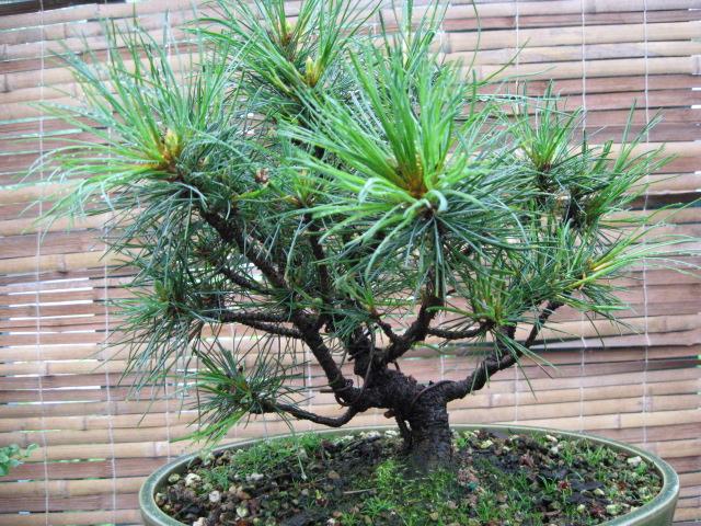 White Bark Pine Img_2915