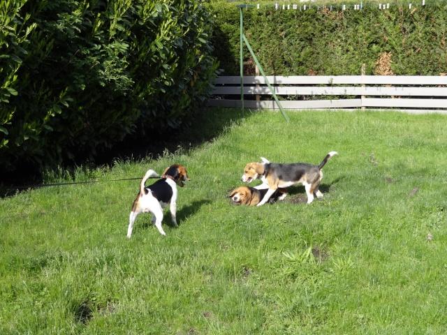 Edouard, beagle mâle de 5ans _ SPA Forbach (57) Dsc01415