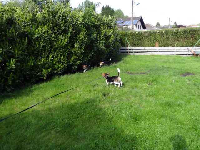Edouard, beagle mâle de 5ans _ SPA Forbach (57) Dsc01416