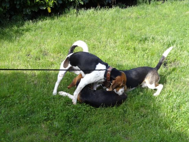 Edouard, beagle mâle de 5ans _ SPA Forbach (57) Dsc01417
