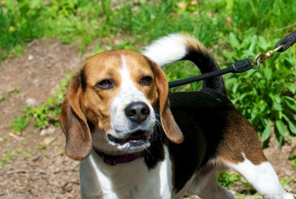 Edouard, beagle mâle de 5ans _ SPA Forbach (57) Edouar10