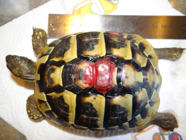 L'age de ma tortue Espelette Dsc02513