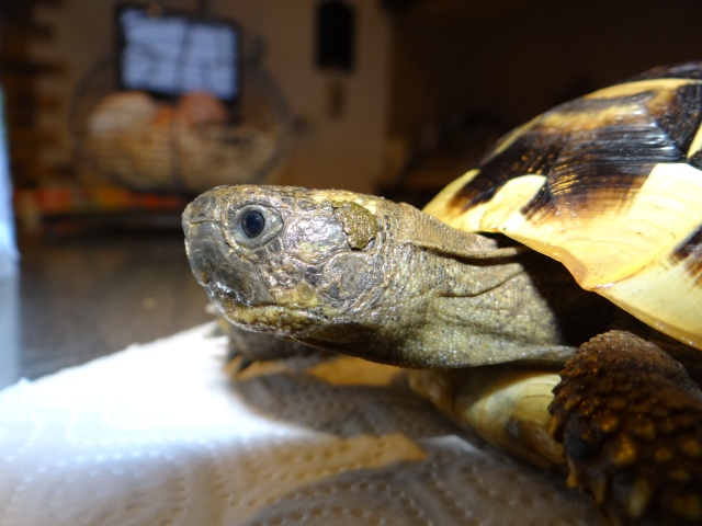 L'age de ma tortue Espelette Dsc02515