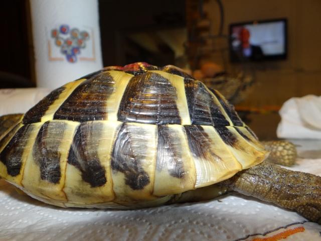 L'age de ma tortue Espelette Dsc02516