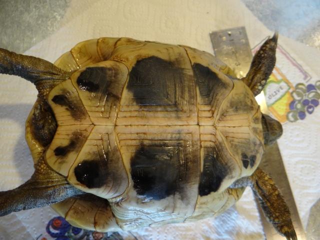 L'age de ma tortue Espelette Dsc02610