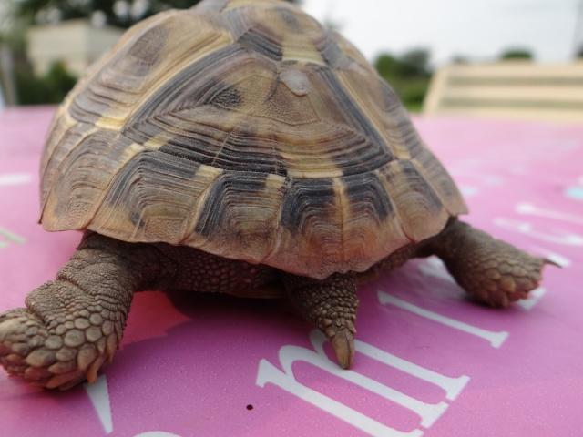 besoin d'aide pour sexer deux petites tortues, Dsc02615