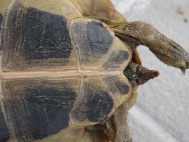 besoin d'aide pour sexer deux petites tortues, Dsc02617