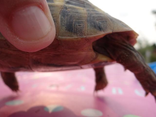 besoin d'aide pour sexer deux petites tortues, Dsc02618