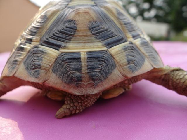 besoin d'aide pour sexer deux petites tortues, Dsc02621