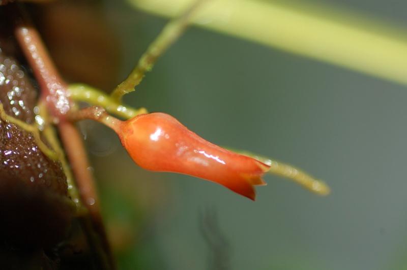 Dischidia lancifolia Dsc_7213