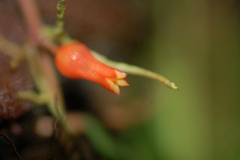 Dischidia lancifolia Dsc_7214