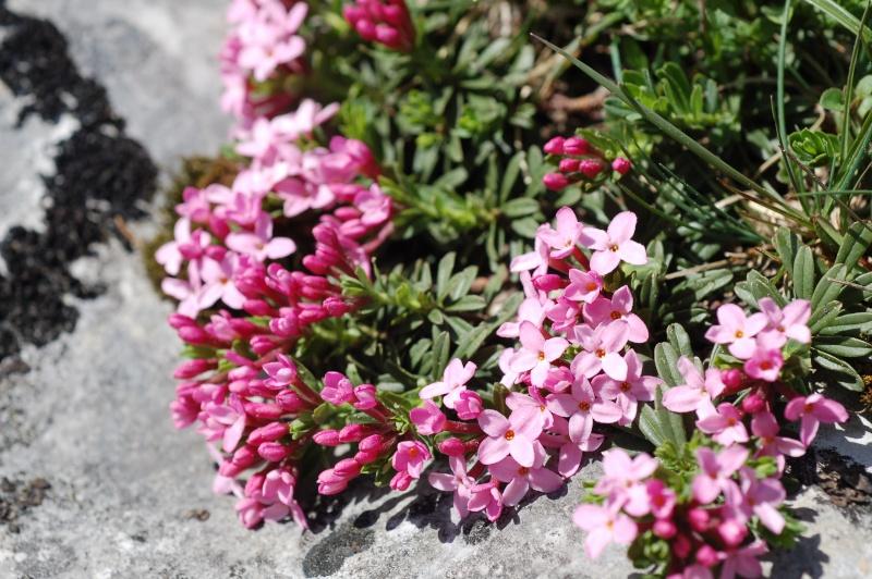 Daphne cneorum Dsc_7710