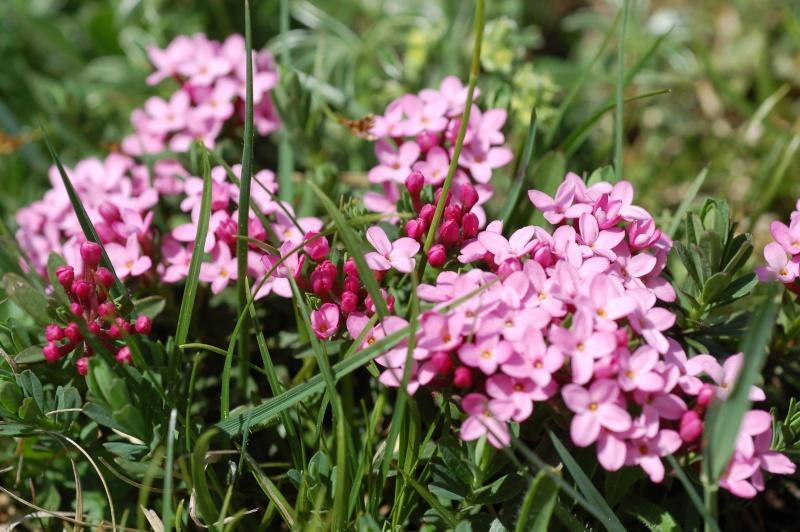 Daphne cneorum Dsc_7711