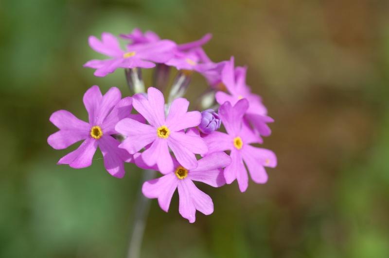 Primula farinosa Dsc_7815