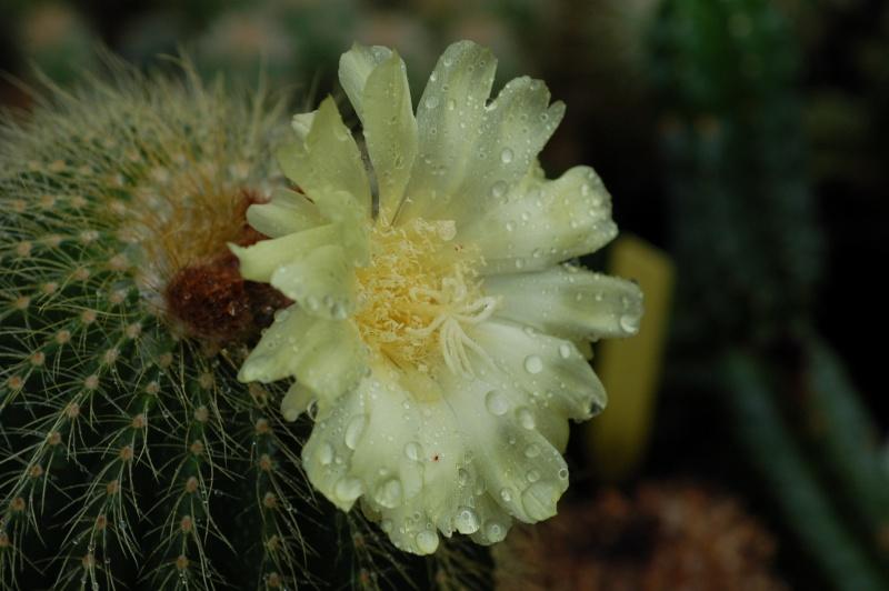 Eriocactus claviceps Dsc_7912