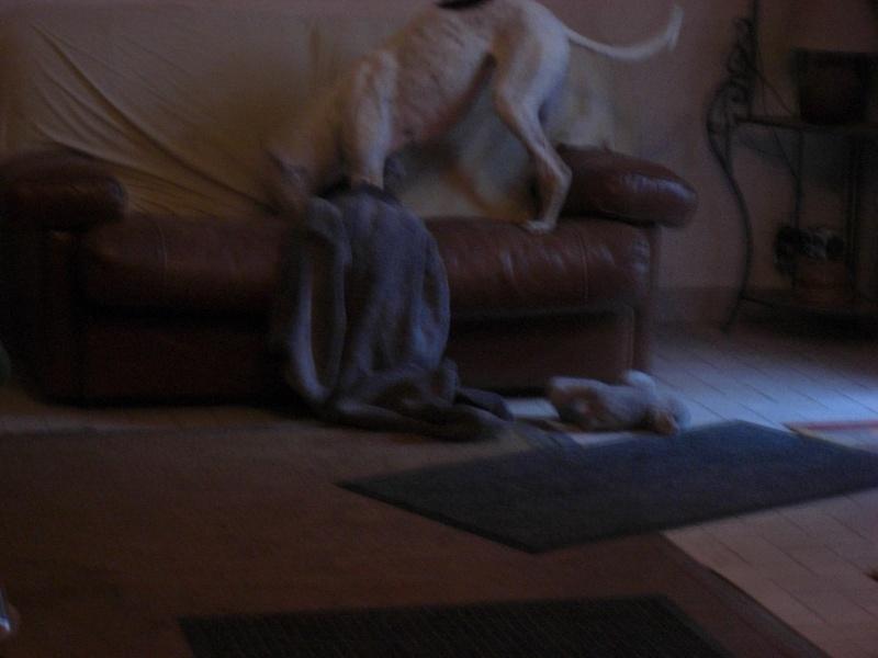 """Les"""" Doggies"""" de La Rive - Page 4 Galgos17"""