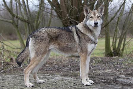 Le chien loup de Saarloos Saarlo10