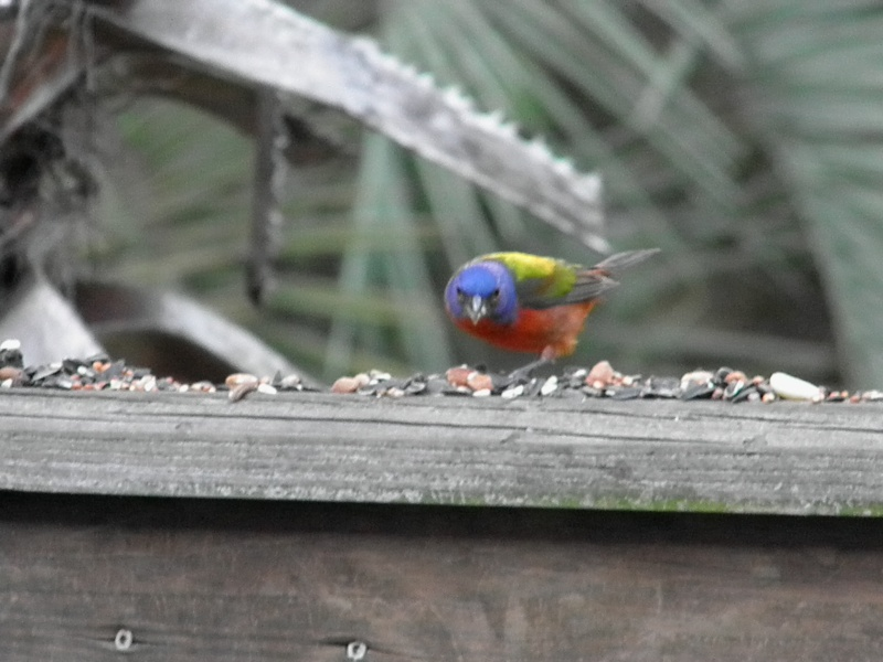 Painted Bunting P5080210
