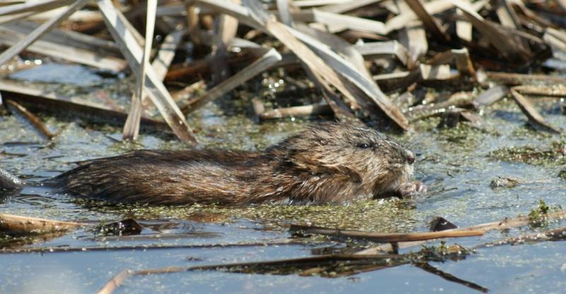 Rat musqué Parc_d27