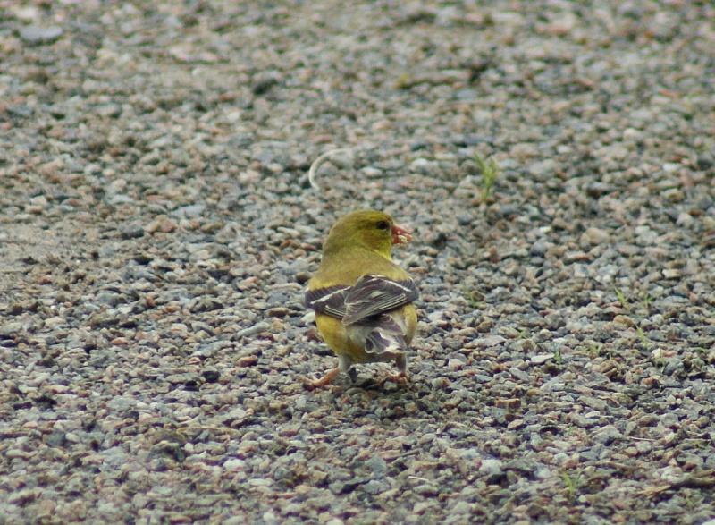 2 Chardonneret jaune mâle? Parc_d53