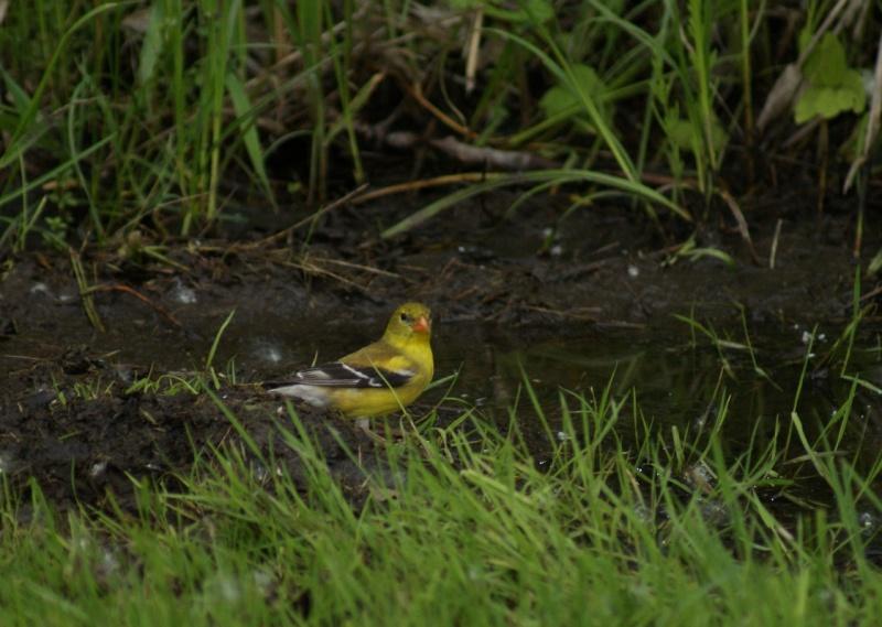 2 Chardonneret jaune mâle? Parc_d54