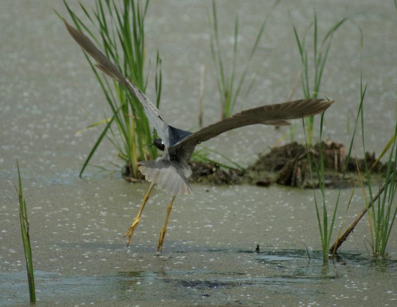 Bihoreau et poisson - série Parc_d62